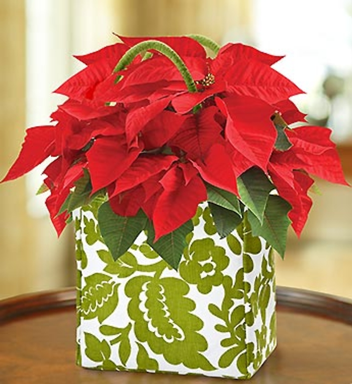 Poinsettia Plant in a Tote